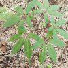cây sâm lai châu